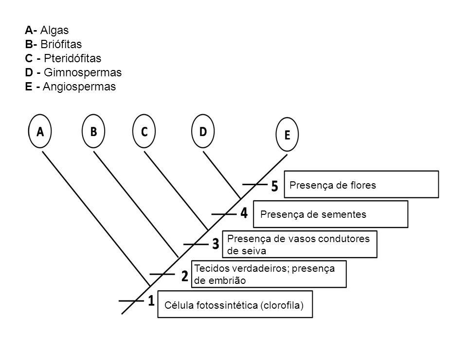 A- Algas B- Briófitas C - Pteridófitas D - Gimnospermas