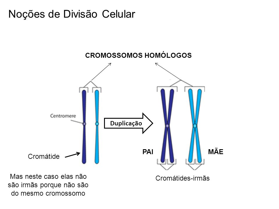 Mas neste caso elas não são irmãs porque não são do mesmo cromossomo
