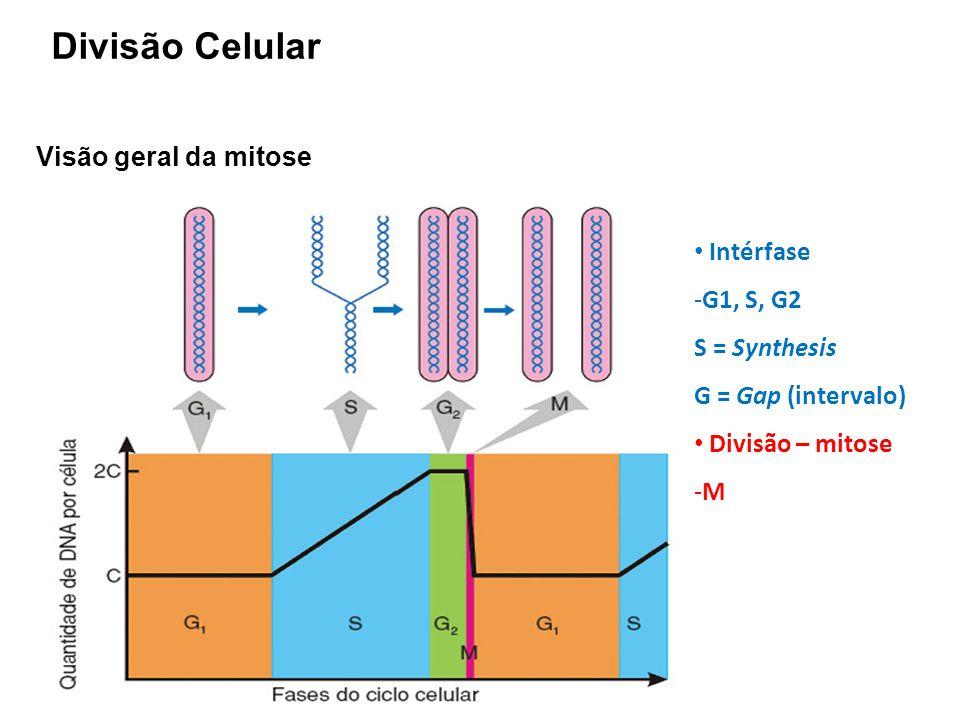 Divisão Celular Visão geral da mitose Intérfase G1, S, G2