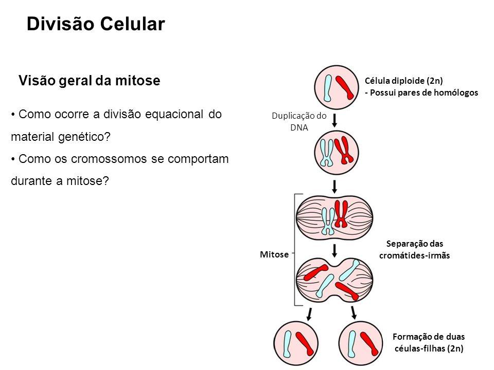 Separação das cromátides-irmãs Formação de duas céulas-filhas (2n)