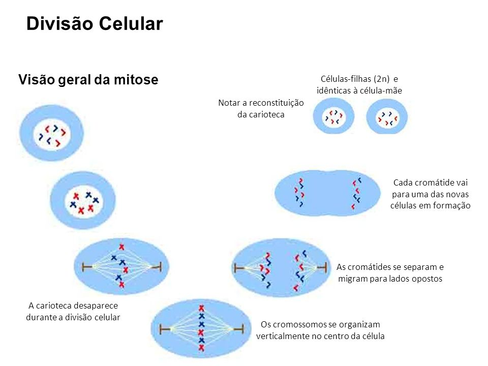 Divisão Celular Visão geral da mitose