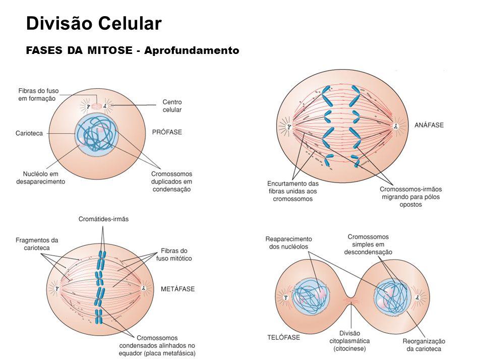 Divisão Celular FASES DA MITOSE - Aprofundamento