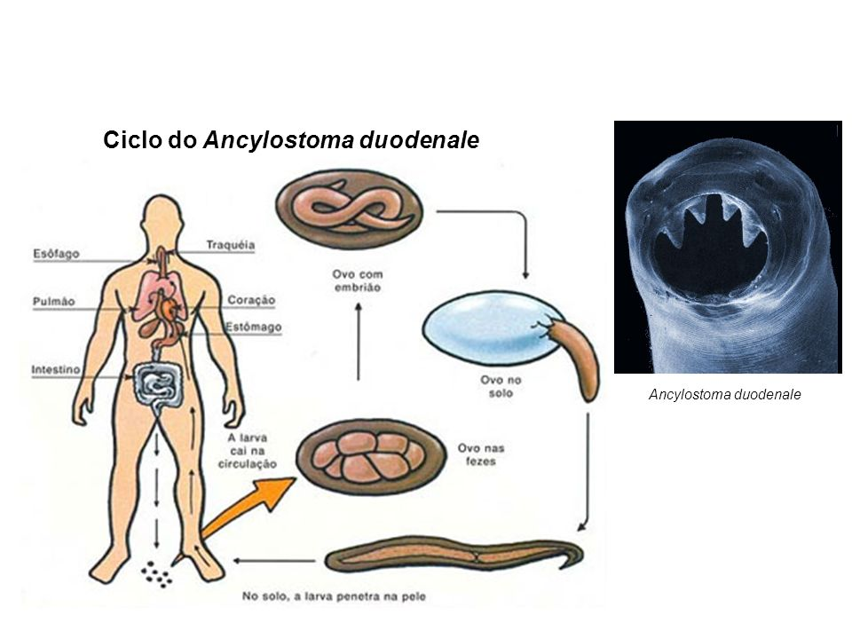 Ciclo do Ancylostoma duodenale