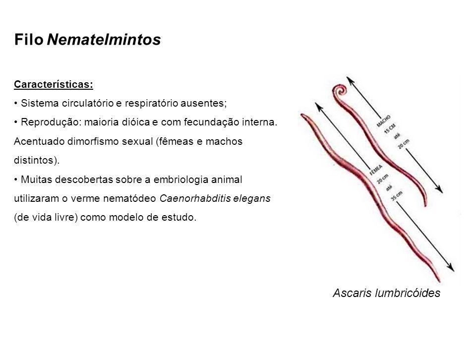 Filo Nematelmintos Ascaris lumbricóides Características: