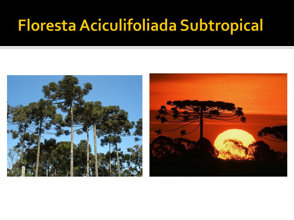 Floresta Aciculifoliada Subtropical