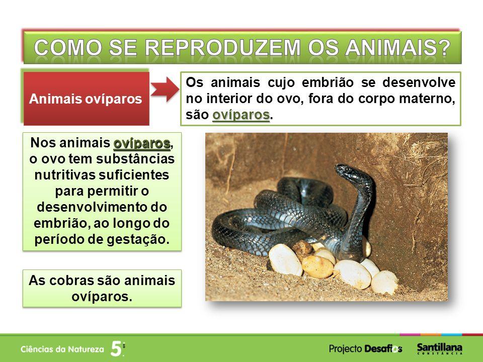 Como se reproduzem os animais As cobras são animais ovíparos.