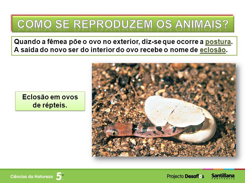 Como se reproduzem os animais Eclosão em ovos de répteis.
