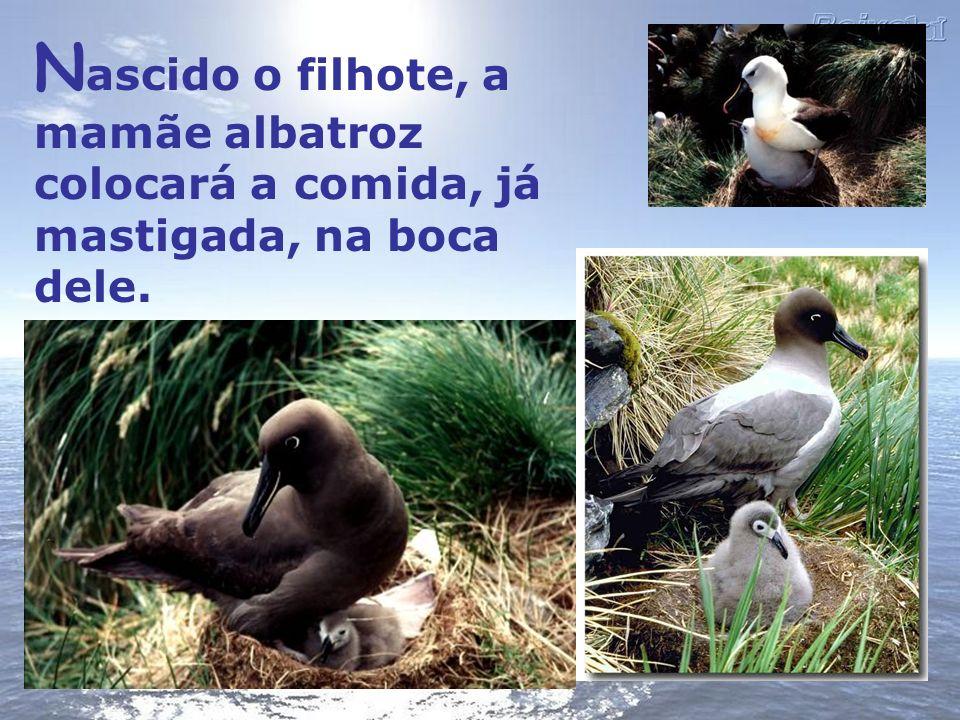 Nascido o filhote, a mamãe albatroz colocará a comida, já mastigada, na boca dele.