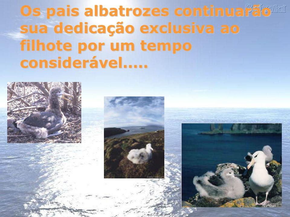 Os pais albatrozes continuarão sua dedicação exclusiva ao filhote por um tempo considerável.....