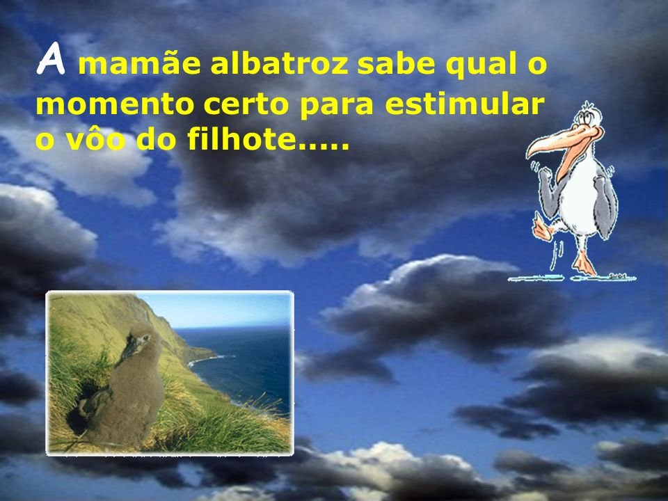 A mamãe albatroz sabe qual o momento certo para estimular o vôo do filhote.....