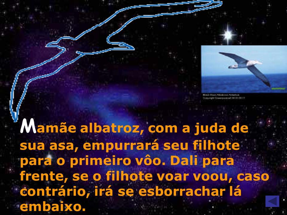 Mamãe albatroz, com a juda de sua asa, empurrará seu filhote para o primeiro vôo.