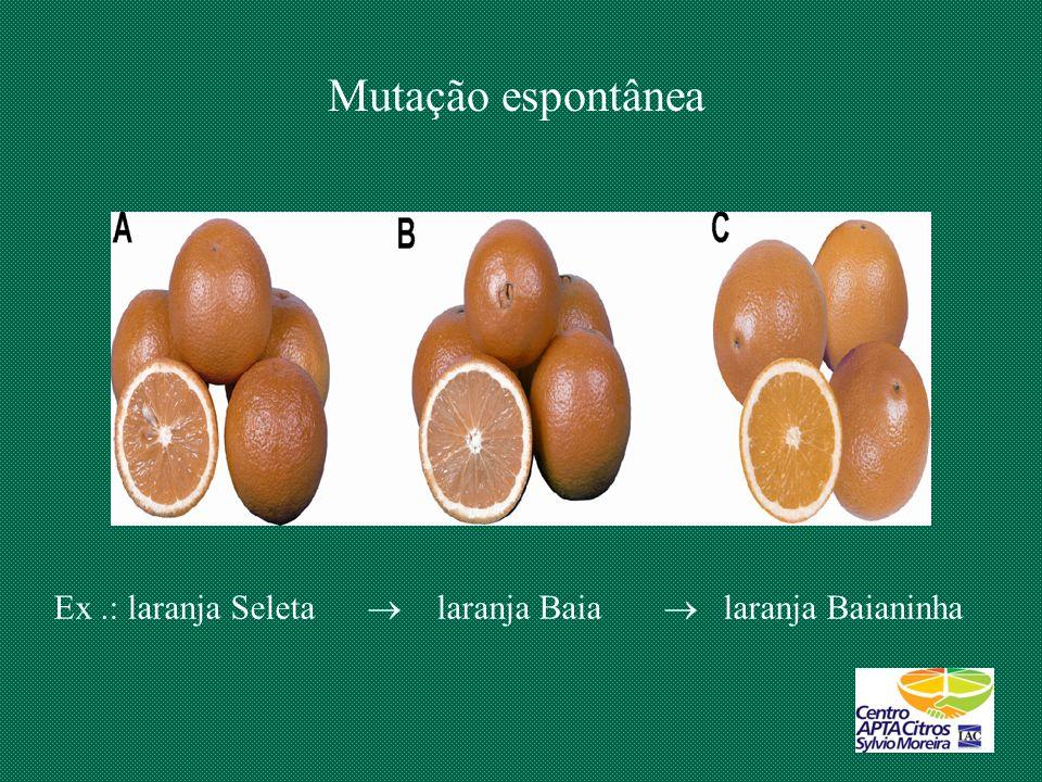 Mutação espontânea Ex .: laranja Seleta  laranja Baia  laranja Baianinha