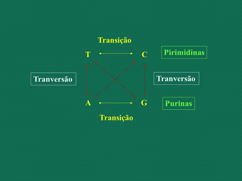 Transição Pirimidinas. T C. A G. Tranversão. Tranversão. Purinas.