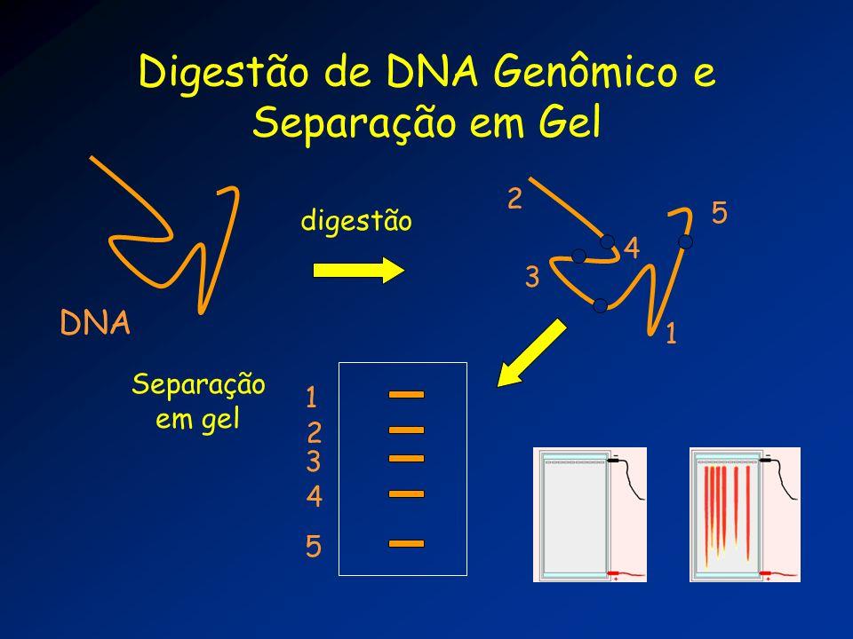 Digestão de DNA Genômico e Separação em Gel