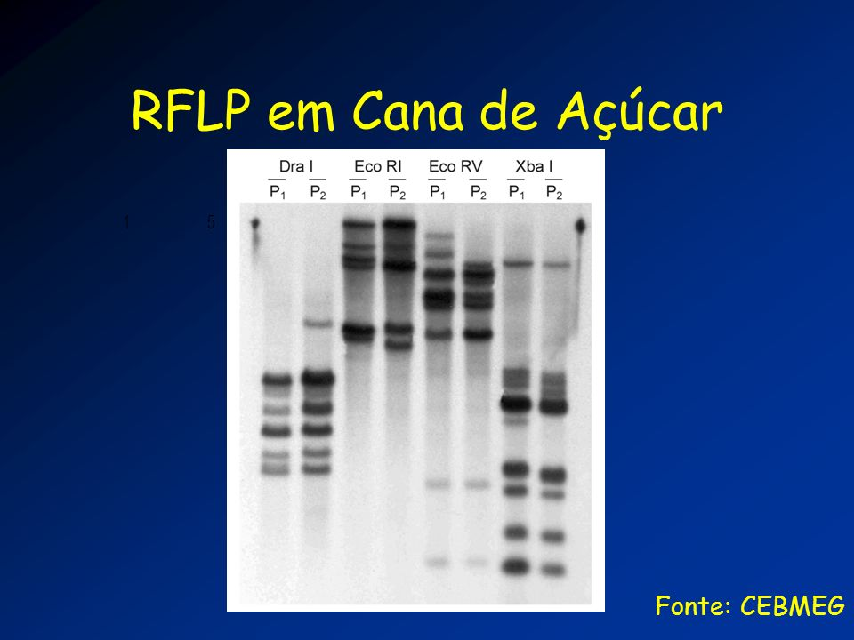 RFLP em Cana de Açúcar Fonte: CEBMEG 1 5 10 15 20