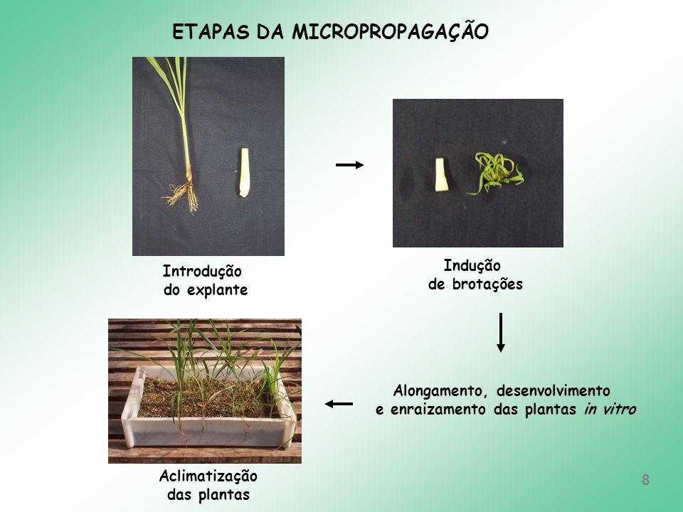 Alongamento, desenvolvimento e enraizamento das plantas in vitro