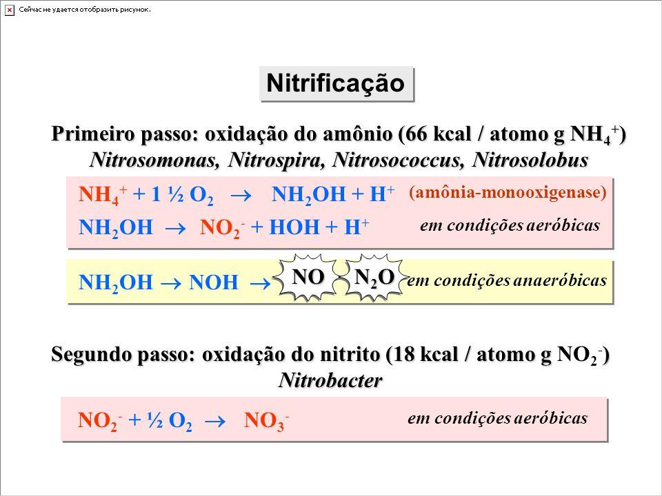 Nitrificação Primeiro passo: oxidação do amônio (66 kcal / atomo g NH4+) Nitrosomonas, Nitrospira, Nitrosococcus, Nitrosolobus.