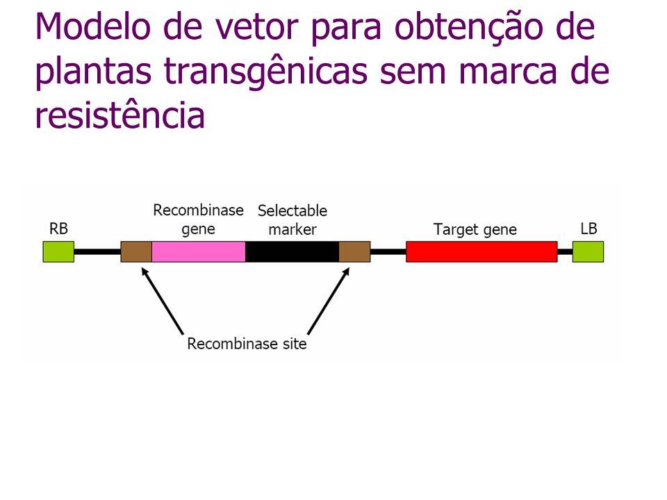 Modelo de vetor para obtenção de plantas transgênicas sem marca de resistência