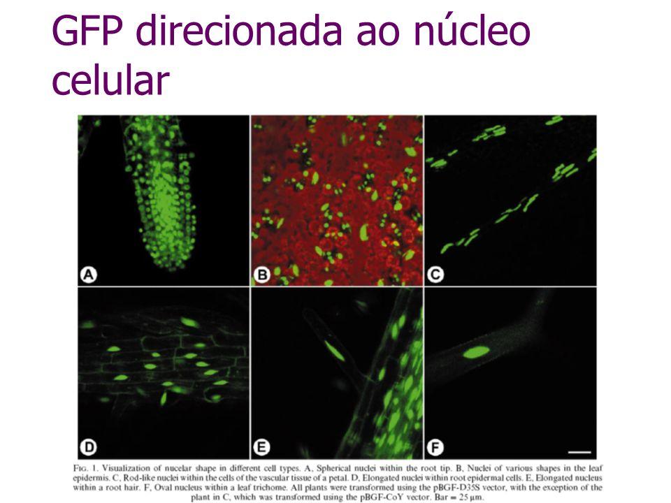 GFP direcionada ao núcleo celular