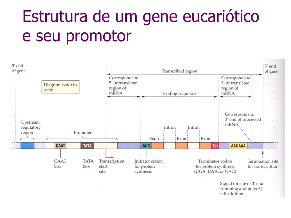 Estrutura de um gene eucariótico e seu promotor