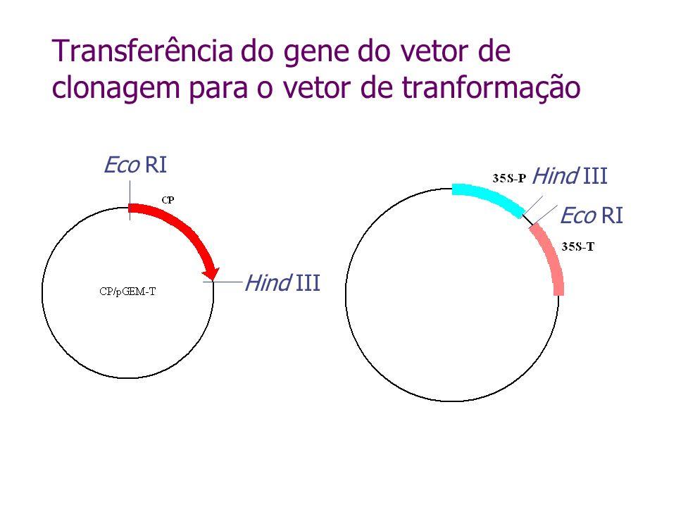 Transferência do gene do vetor de clonagem para o vetor de tranformação