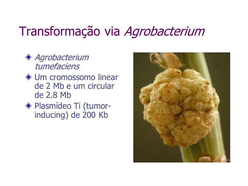 Transformação via Agrobacterium