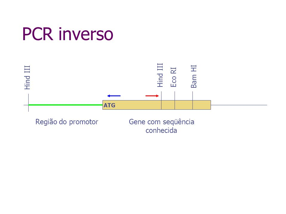 PCR inverso Hind III Hind III Eco RI Bam HI Região do promotor