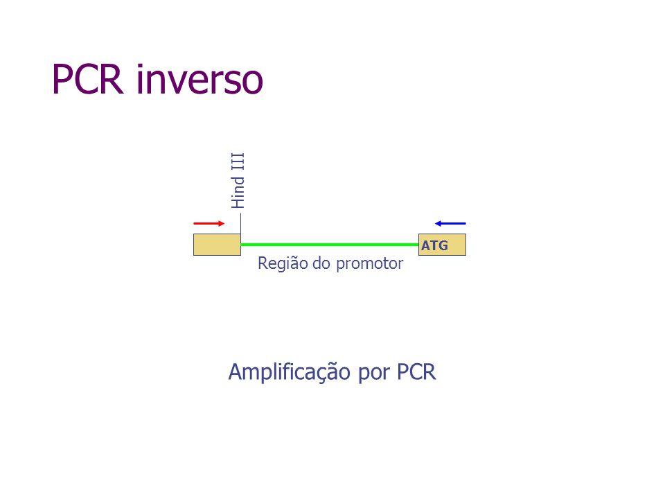 PCR inverso Hind III ATG Região do promotor Amplificação por PCR