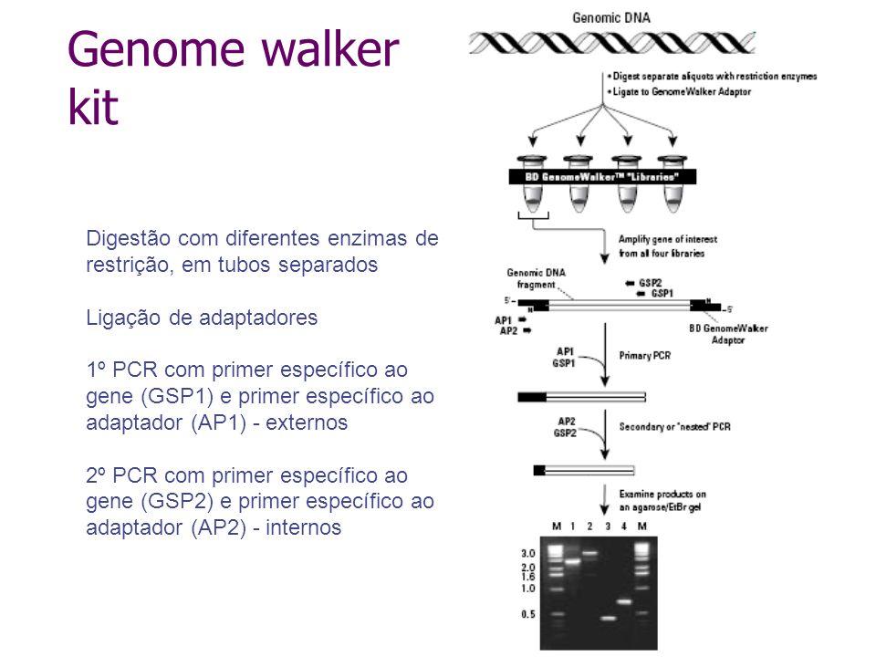 Genome walker kit Digestão com diferentes enzimas de restrição, em tubos separados. Ligação de adaptadores.