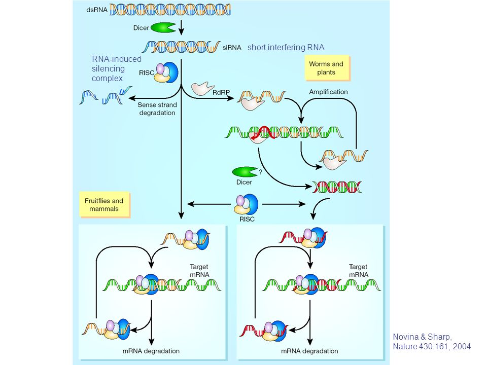 short interfering RNA RNA-induced silencing complex Novina & Sharp, Nature 430:161, 2004