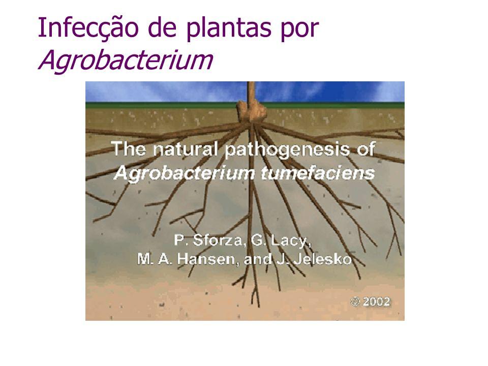 Infecção de plantas por Agrobacterium