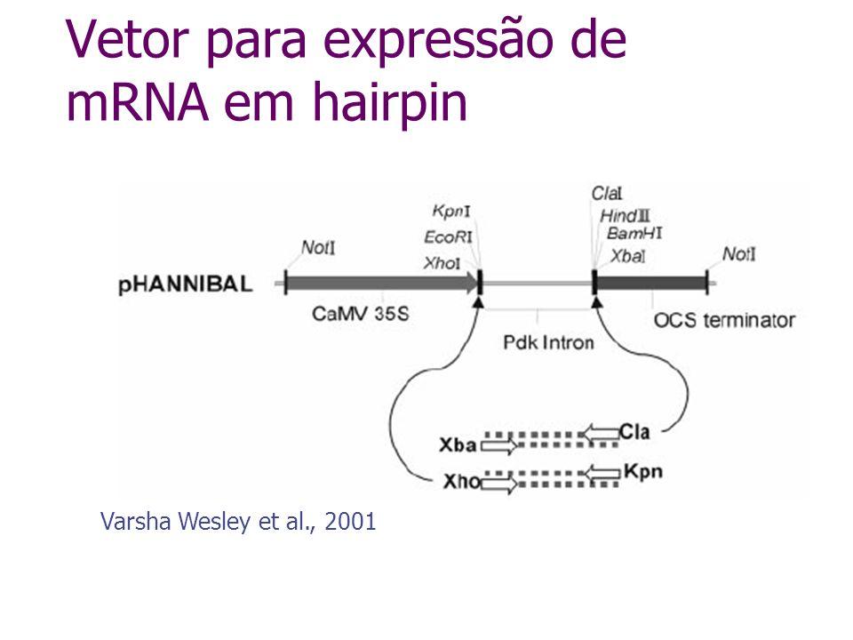 Vetor para expressão de mRNA em hairpin