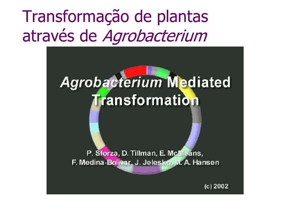 Transformação de plantas através de Agrobacterium
