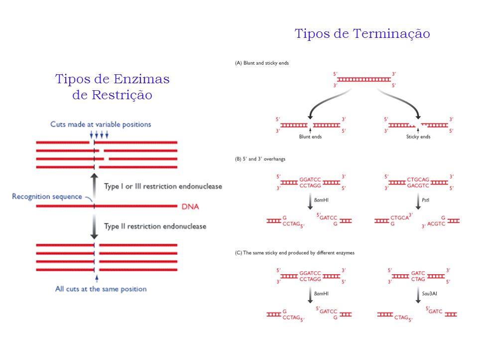 Tipos de Terminação Tipos de Enzimas de Restrição