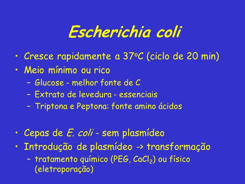 Escherichia coli Cresce rapidamente a 37oC (ciclo de 20 min)
