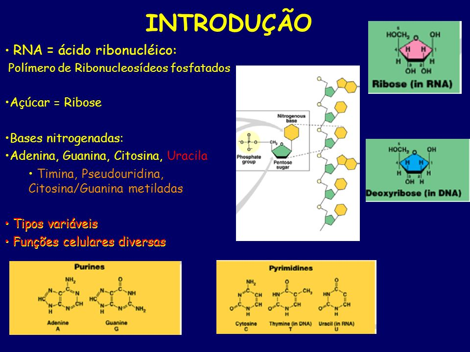 INTRODUÇÃO RNA = ácido ribonucléico: Açúcar = Ribose