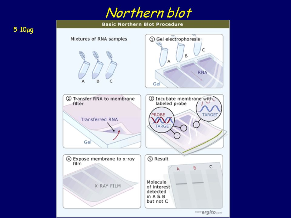 Northern blot 5-10µg