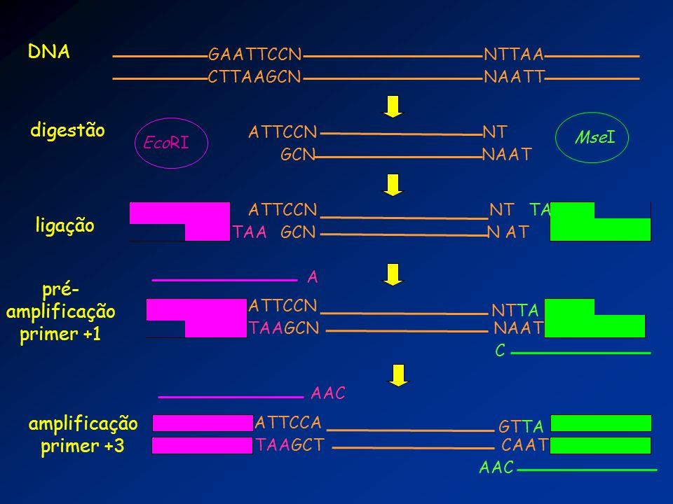 DNA digestão ligação pré- amplificação primer +1 amplificação