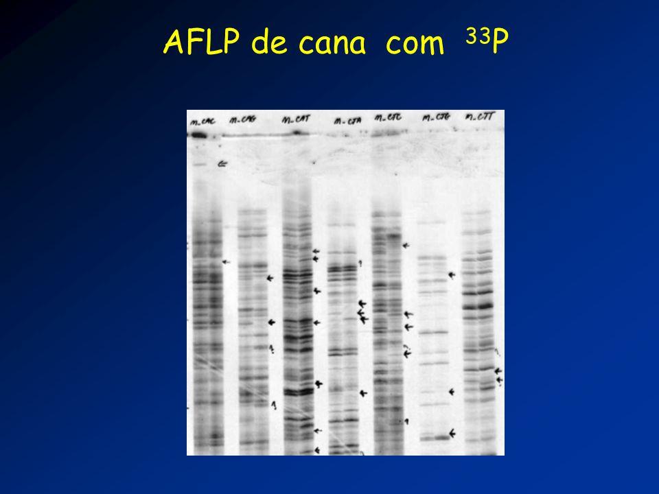 AFLP de cana com 33P