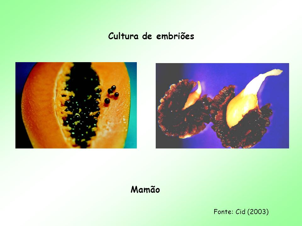 Cultura de embriões Mamão