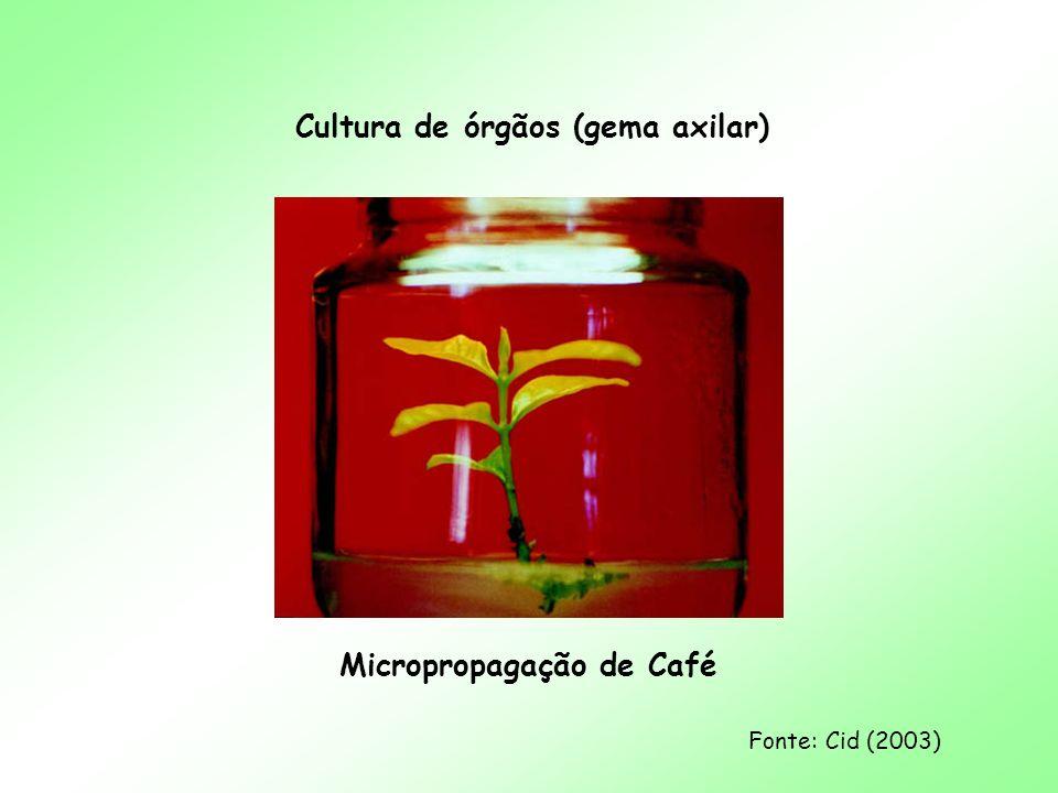 Cultura de órgãos (gema axilar) Micropropagação de Café