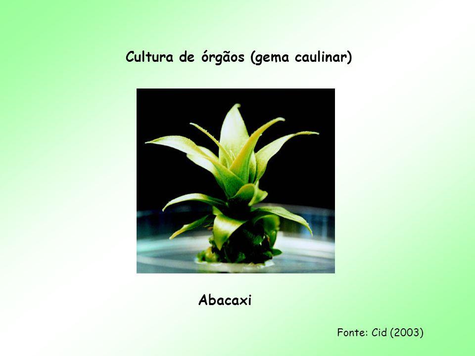 Cultura de órgãos (gema caulinar)