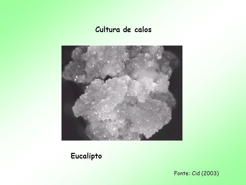 Cultura de calos Eucalipto
