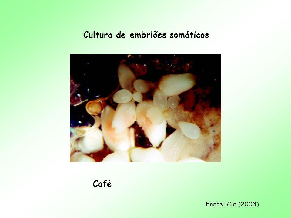 Cultura de embriões somáticos