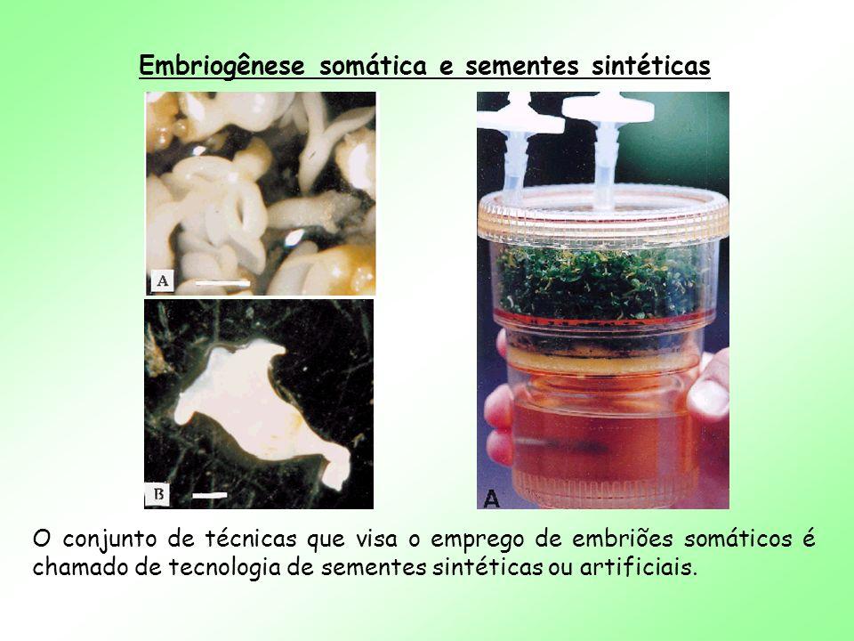 Embriogênese somática e sementes sintéticas