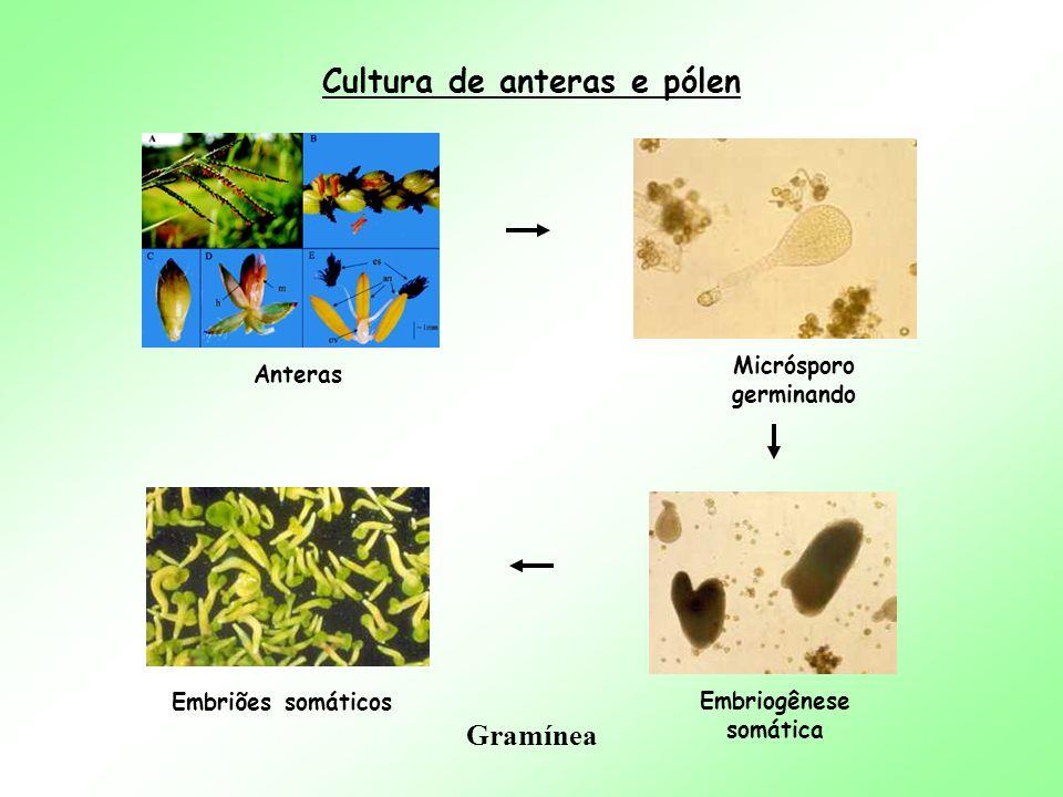 Cultura de anteras e pólen