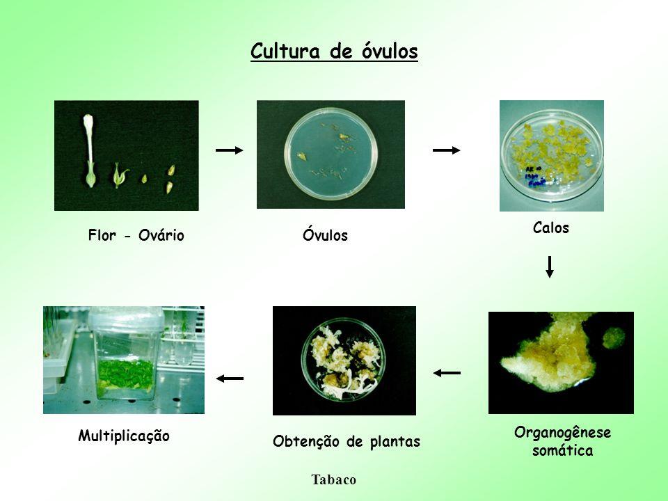 Cultura de óvulos Calos Flor - Ovário Óvulos Multiplicação