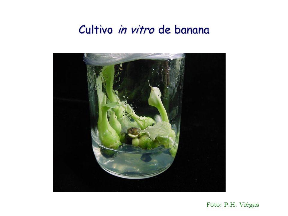 Cultivo in vitro de banana