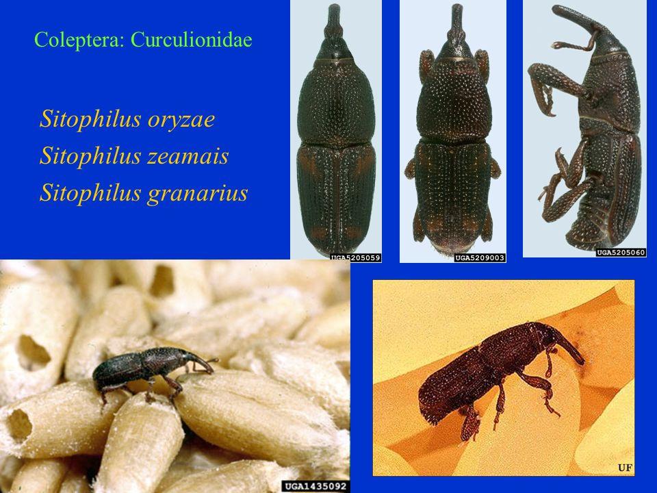 Sitophilus oryzae Sitophilus zeamais Sitophilus granarius