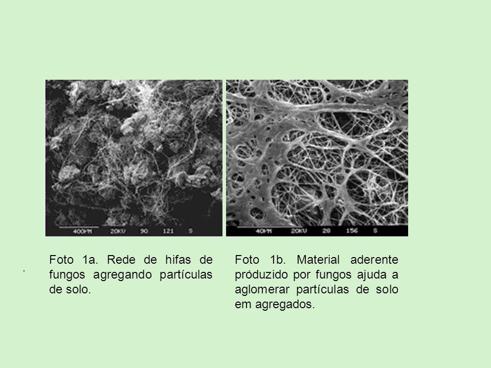 Foto 1a. Rede de hifas de fungos agregando partículas de solo.